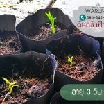 ต้นกล้าฝักข้าว ของสวน Warunee